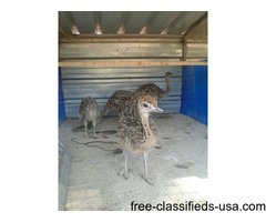 Ostrich Chicks Emu Chicks and fertile Hatching Eggs.