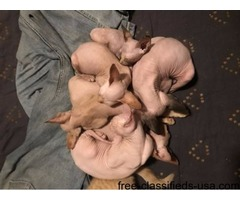 Beautiful wonderful sweet Sphynx Kittens For Sale