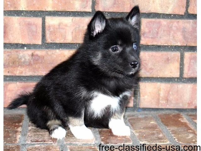 LovelyPomskyPuppiesForSale