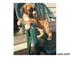 Lovely Cute Boxer Puppies For Sale