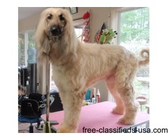 Good Quality Afghan Hound Puppies For Sale