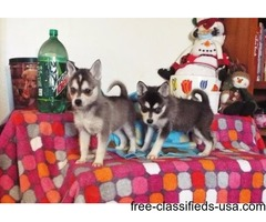 Good Looking Alaskan Klee Kai Puppies For Sale
