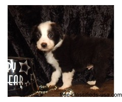 Lovely Australian Shepherd Puppies For Sale