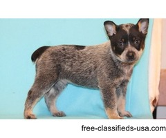 Adorable Australian Cattle Dog Puppies For Sale