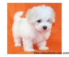Very Sweet Charming Maltese Puppies For Sale
