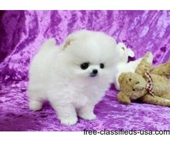 Pomeranian Puppies Available For You Now
