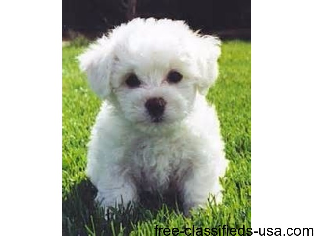 bichon frise for sale near me
