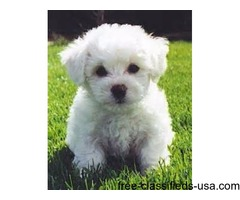 AKC Awesome Bichon Frise Puppies For Sale