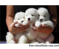 Charming Samoyed Puppies For Sale