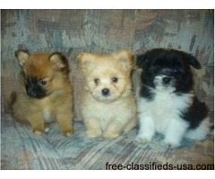 Pure Breed Pomeranian Puppies For Sale