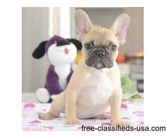 fawn French Bulldog puppies available