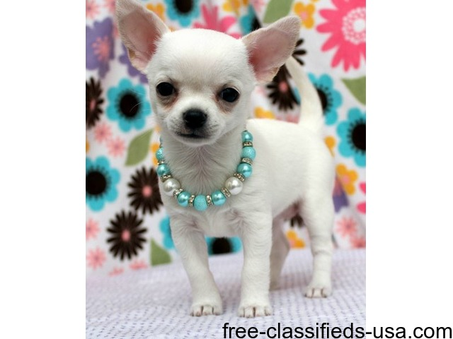 Doll Face Micro Teacup Stunning Chihuahua puppies - Animals