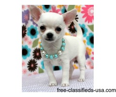 Doll Face Micro Teacup Stunning Chihuahua puppies