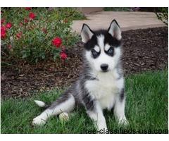 Cute Husky Pupppies