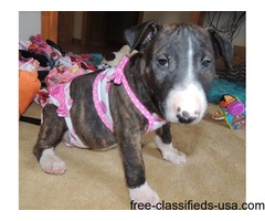 This Bull Terrier girl is very loving and playful.