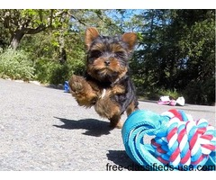 Cute male Yorkie Puppy.