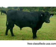 reg.angus calving ease bull 2600 the farm