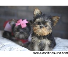 ❤️ Adorable AKC Teacup and micro Doll Face Yorkie Puppies