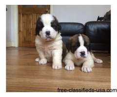 AKc Registered Quality Saint Bernard Pups