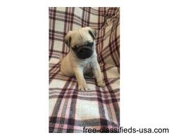 Beautiful Fawn Pugs AKc Registered