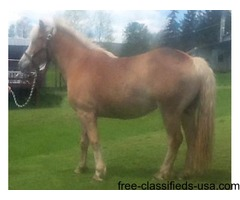 HAFLINGER for sale