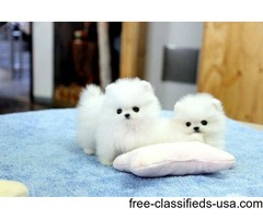 Tiny Toy Pom's with GREAT personalities!!!!