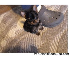 Cute Yorkie puppies