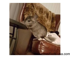 For sale 2 standard chinchillas
