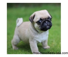 Full Pedigree Kc Reg Pug puppies Champion Lines