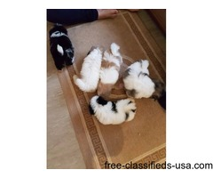 charming shih tzu puppies for a new home