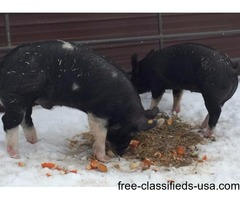 Berkshire (Kobe) Pigs