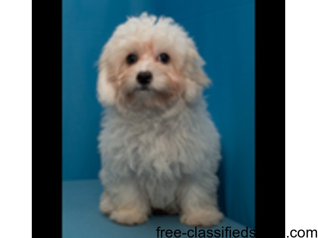 Maltipoo Puppies for Sale in Texas - Animals - Donna - Texas