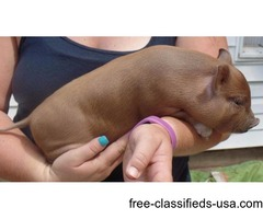 Housetrained, well socialized Mini Pig