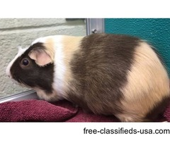 Jacopo - Female, Guinea Pig