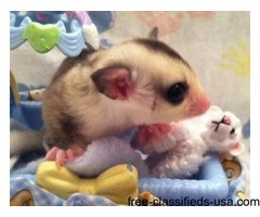 Two Male Sugar Glider Joey's