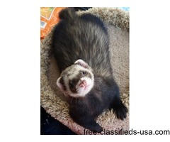 MOMO & PABU - Male, Ferret