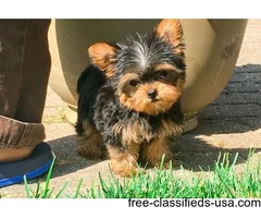 Akc Registered Yorkie Male and female available