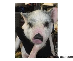 Pet Pigs for sale