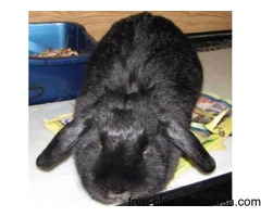 MIDDIE - Female, Lop, English Mix