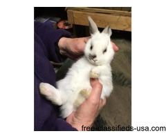 Himalayan/Netherland dwarf mix rabbit for sale