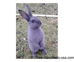 Baby male blue mini rex (12 wks)