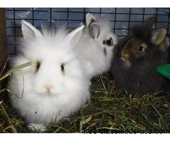 Lionhead, Netherland mix bunnies