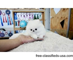 2 Tea Cup Pomeranian to rehome
