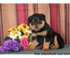 Super adorable Rottweiler Puppies