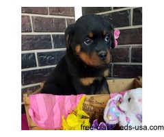 Top quality Male and Female  Rottweiler puppies