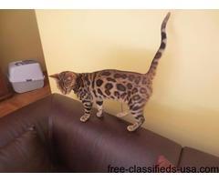 Bengal,sphynx,Bob cats and Margay kittens available