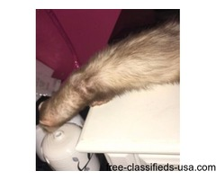 Female Ferret for Sale