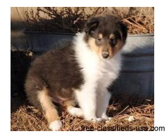 Gorgeous Collie Puppies for Sale