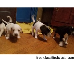 Mountain Kurt beagle puppy's