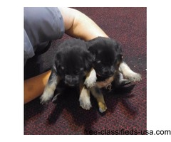 German Shepherd AKC Registered puppies